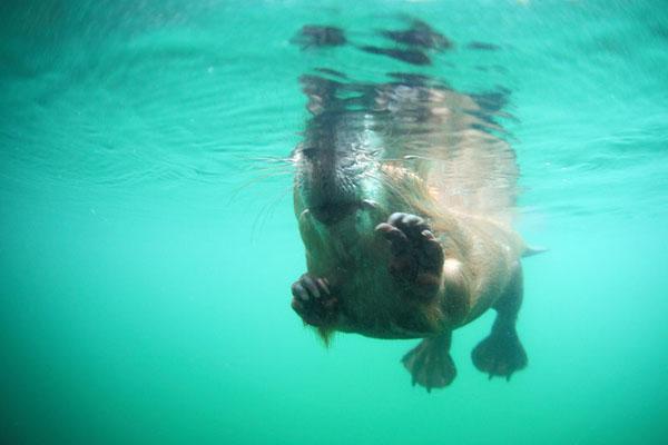 Hello beaver